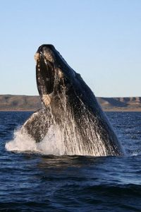 Right Whale Breaching Water: Dead Right Whales found in Gulf of St. Lawrence