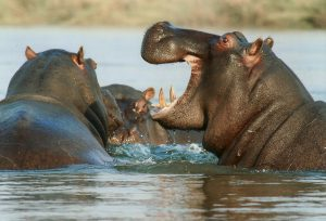 The River Horse, or Hippo, Closest Living Relative To Whales: Facts about whales