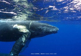 A Severely Injured Humpback Whale: Whale Collisions