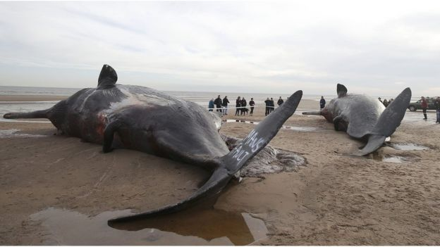 Sperm Whales Beached near Gibraltar Point in Skegness : Rescuing a stranded whale