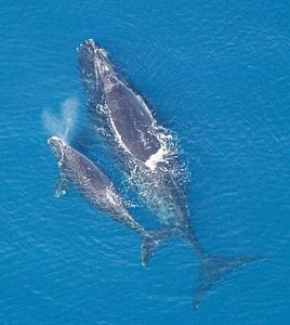 North Atlantic Right Whale and a calf