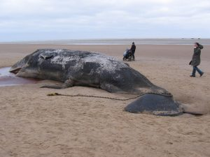 A Beached Sperm Whale. They Are Prone To Mass Whale Strandings
