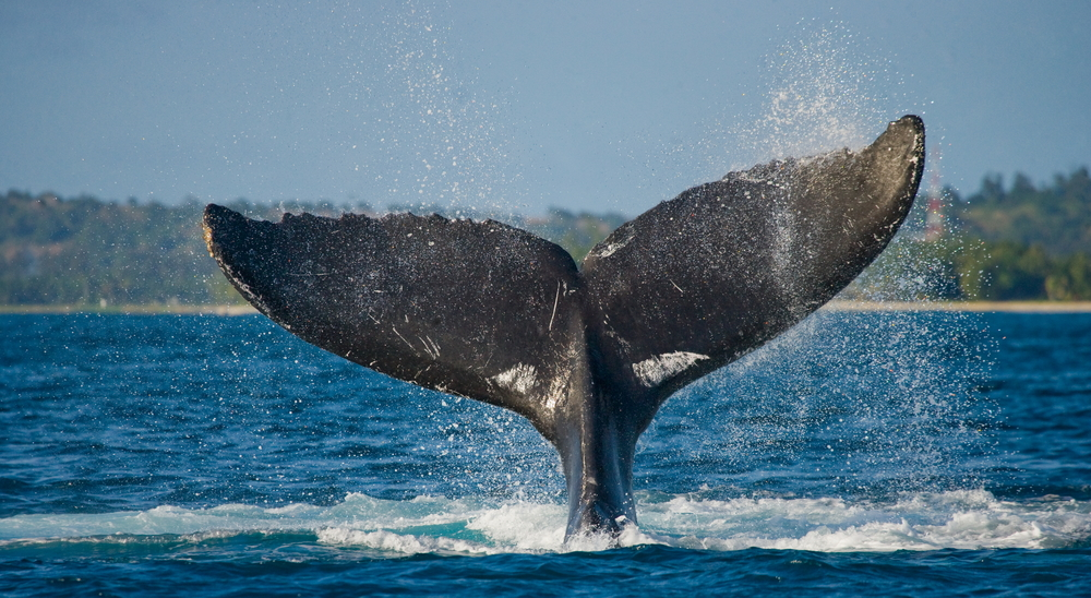 How Whales Lose Their Way At Sea