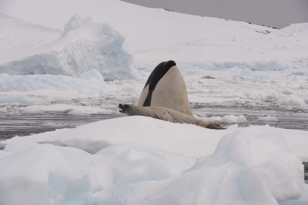 A Killer Whale Hunting A Seal In Antarctica; humpback whales versus killer whales